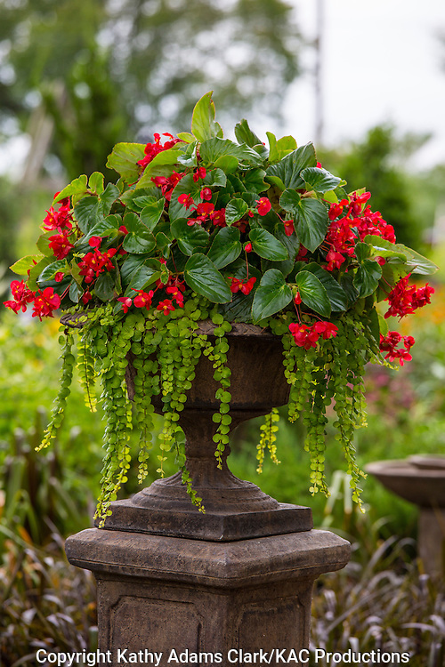Container garden, begonia, Garden, begonia, Houston, late summer, Texas.