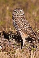 Burrowing owl, Athene cunicularia, Cape Coral, Florida, USA
