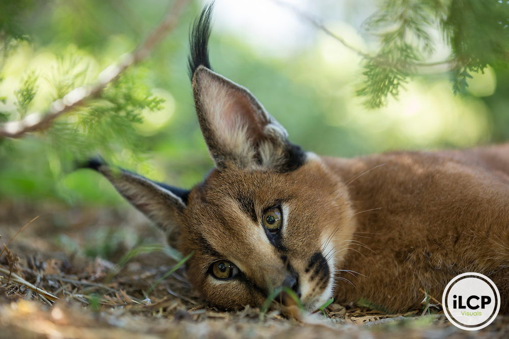 Jinx's mother was killed by hunters who collected the kitten. Marine Drouilly and farmers who harbored then took care of the young caracal tamed. Western Cape, Karoo, South Africa / La mère de Jinx a été tuée par les chasseurs qui ont recueilli le chaton. Marine Drouilly et les fermiers qui l'hébergeaient ont ensuite pris soin du jeune caracal apprivoisé. Western Cape, Karoo, South Africa