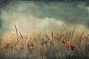Poppies in a dry field - vintage texture processing<br /> Society6 products: https://society6.com/product/chaos--beauty_print#1=45
