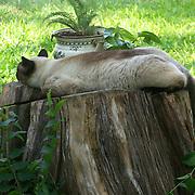 Sweet slumbering Siamese..