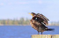 Cormorant drying it's wings before flight.