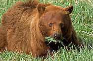 All bears, like this cinnamon black bear, are omnivores, which means they eat foods of both plant and animal origin.  Early spring grass is a favorite food of bears and they can often be found grazing in meadows for hours at a time enjoying this delicacy.