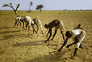 Africa, Chad, islands of Lake Chad, Buduma men weeding millet field with hoe.