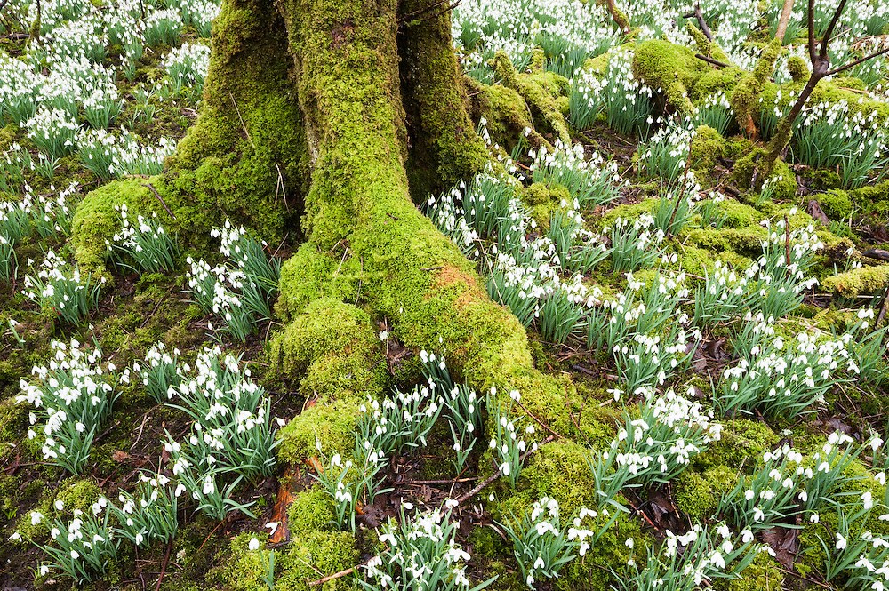 Snowdrops in the wod at Bridgend, Islay, Scotland