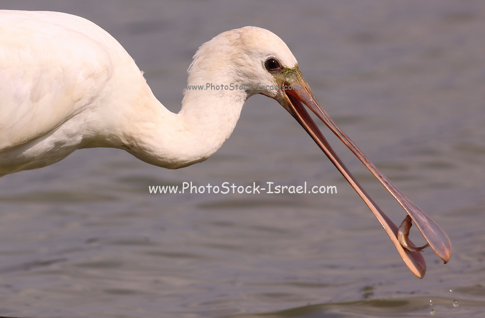 Common spoonbill (Platalea leucorodia) with a fish in its bill. This wading bird is found in southern Eurasia, Europe and North Africa. It migrates to the tropics in winter. It inhabits marshy wetlands and feeds on fish, frogs and other aquatic animals. Photographed in Israel, in September.
