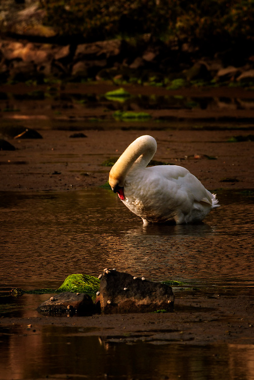 Mute Swan (Cygnus olor) grooming it's feather.