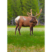 Bull Elk - Grass Meadow - Yellowstone National Park