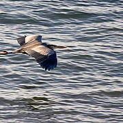 Heron flying low over water, viewed from slightly above