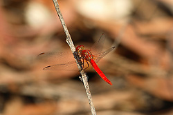 A stunning red dragonfly on the Kimberley coast.  Dragonflies are common around fresh water.