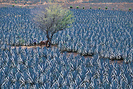 Agave fields near Tequilla Jalisco Mexico