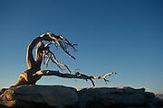 Dead tree on desert rocks