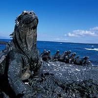South America, Ecuador, Galapagos Islands, Marine Iguanas (Amblyrhynchus cristatus) resting in afternoon sun on lava on Fernandina Island