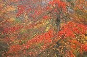 Trees in Fall color along Wildwood Trail, Washington Park, Portland, Oregon.