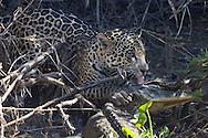 Jaguar (Panthera onca) with Caiman kill, Pantanal, Brazil