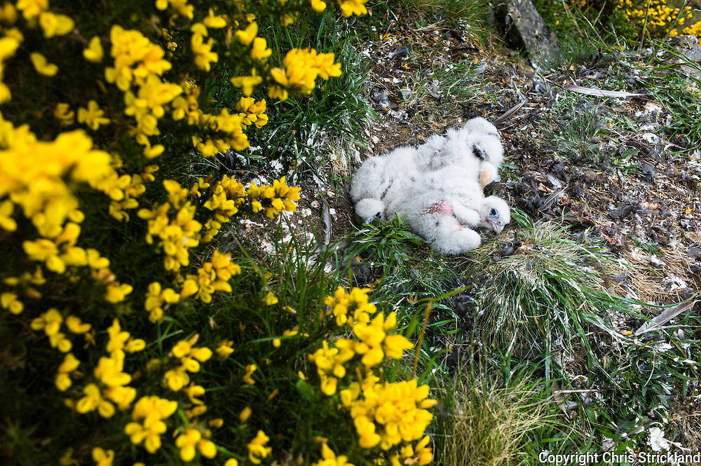 Jedburgh, Scottish Borders, UK. 25th May 2015. Licensed ornotholigists ring and chip Peregine chicks less than a month old in order to monitor their population levels and behaviour patterns.