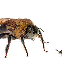 Carpenter Bee (Xylocopa virginica) next to a Small Carpenter Bee (Ceratina), South Carolina, USA. Composited image.