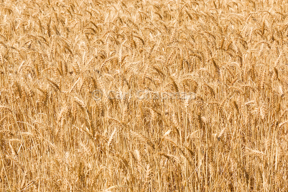Heads of golden wheat in a field before harvesting in rural Brucedale, New South Wales, Australia.