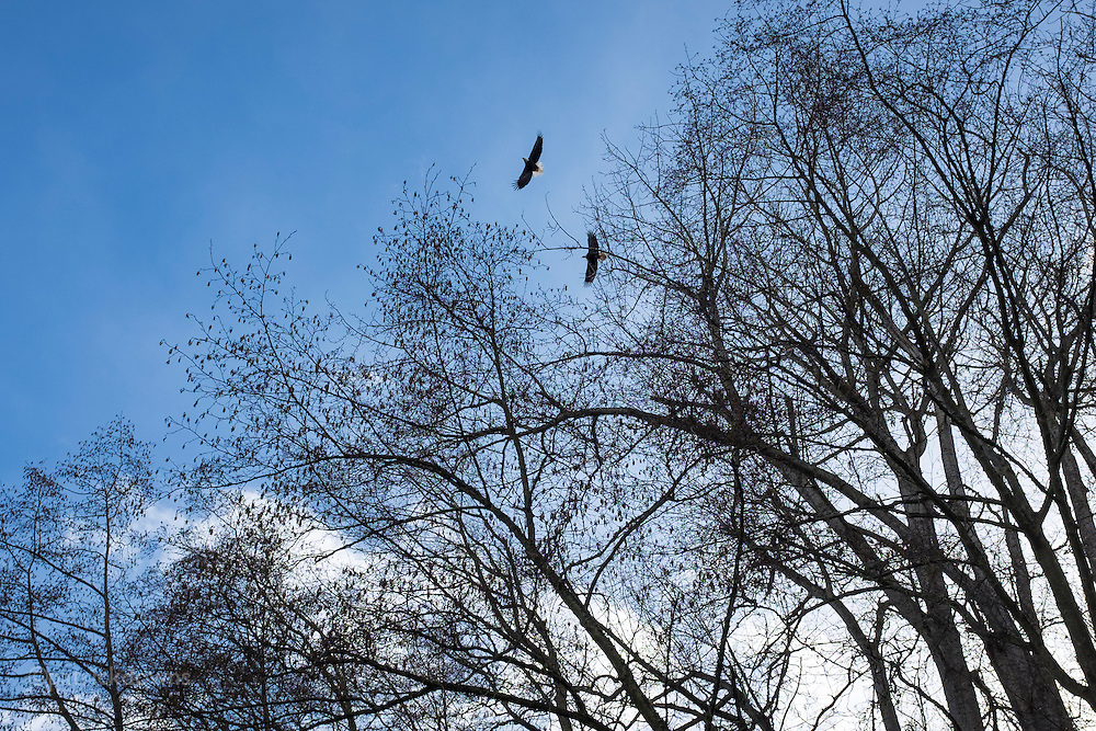 Late winter begins nesting season for the bald eagles, and this pair takes off to hunt and soar, from their perch among tall bare trees along the Dungeness River.