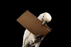 [captive] Paperboard tool ( sequence 1/11 ) Reasearch on the cognitive abilities is done in the Goffin Lab (Lower Austria) by Alice M. I. Auersperg. Goffin's cockatoos or Tanimbar Corellas (Cacatua goffini) are endemic to an island archipelago in Indonesia. Their exploration seems to be reinforced by the movability of the respective affordances and involves both, bill and feet. | Pappewerkzeug - In diesem Versuch muss der Goffinkakadu erlernen, aus einer Pappe ein geeignetes Werkzeug zu stanzen um nach einer Belohnung (Cashewnuss) zu stochern, um sie zum Rausfallen aus einer ansonsten unzugänglichen Box zu bringen. Dies ist herstellen eines Wergzeugs und der Werkzeuggebrauch. Der Goffinkakadu (Cacatua goffiniana) ist eine Papageienart und kommt in freier Wildbahn ausschließlich auf der indonesischen Inselgruppe Tanimbar vor. Diese Aufnahmen wurden in Gefangenschaft aufgenommen.