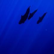 December 11th 2006. Kona, Hawaii (USA) Short-finned Pilot Whales diving.