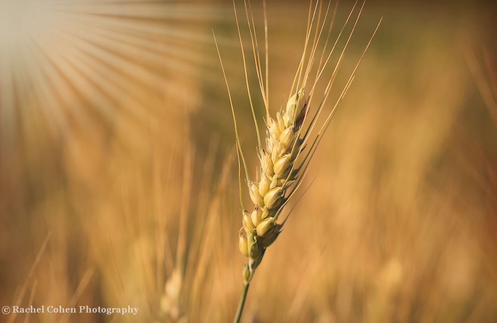 &quot;Silky Gold&quot; <br />