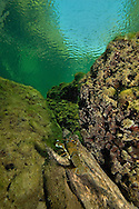 Signal Crayfish<br /> <br /> Viktor Vrbovsky/Engbretson Underwater Photography