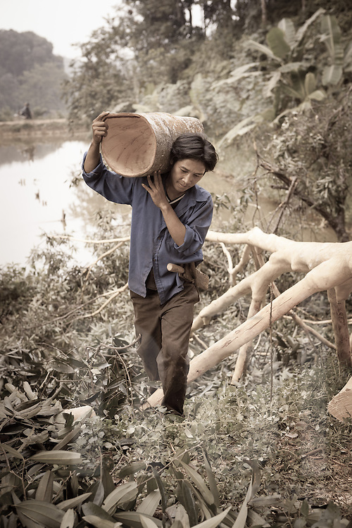 A man carries a valuable piece of Cassia bark from a 40 year old tree over his shoulder. Yen Bai province, Vietnam, Southeast Asia