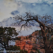Twisted Junipers, Storm Clouds, Freezing Temperatures, Ice Storms and High Winds rally against a persistant Sunrise at Mather Point,elevation 6850, Grand Canyon National Park