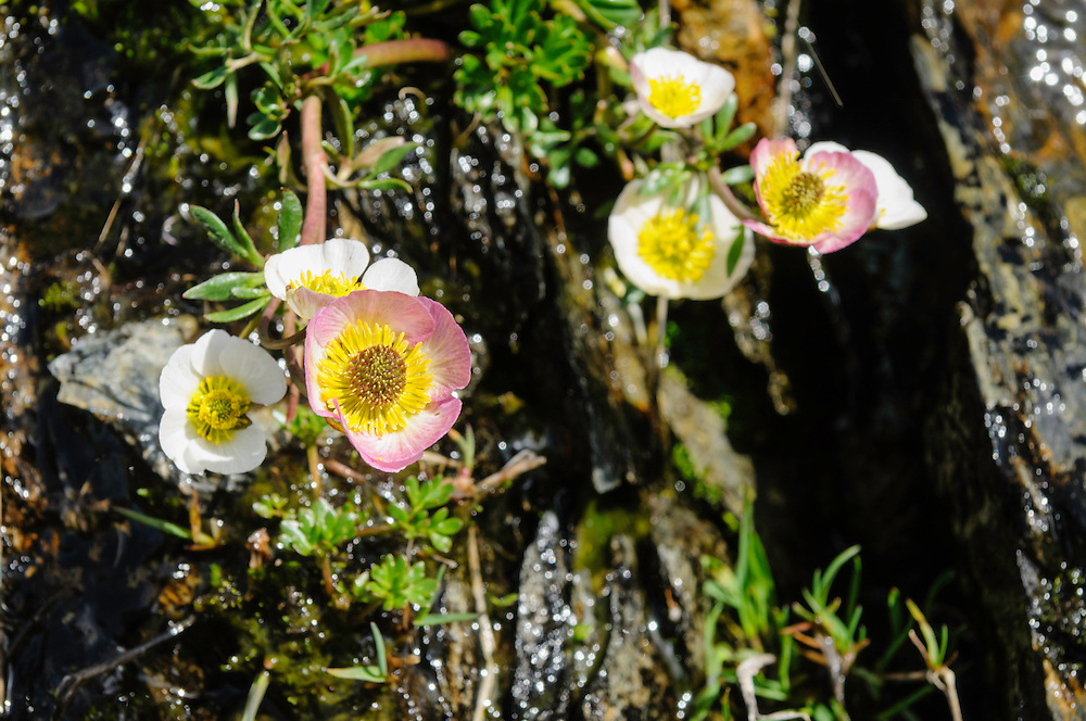 Gletscherranonkel, Ranunculus glacialis