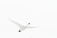 swans in flight over the rocky mountains