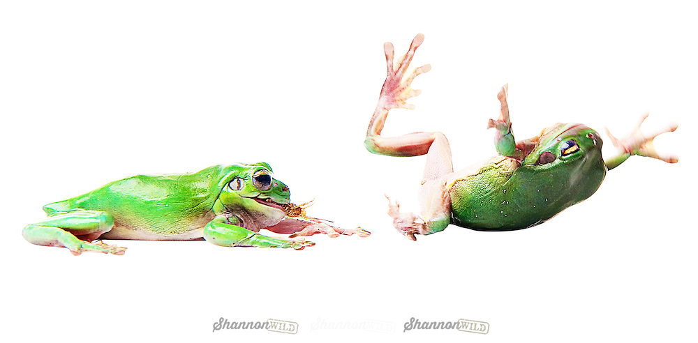 Two Australian Green Tree Frogs fighting over a cricket.<br />
