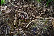 2015-05-08-Trujillo Alto, Puerto Rico- Pichones de reintias en su nido. Tanager's pigeons on the nest.