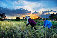 Woman harvest rice at sunset in rural Thailand
