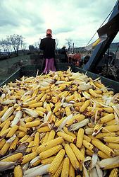 Young amish girl drives wagon harvesting yellow feed corn.