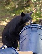 Alaska. Black Bear (Ursus americanus) foraging through trash in an east Anchorage neighborhood.