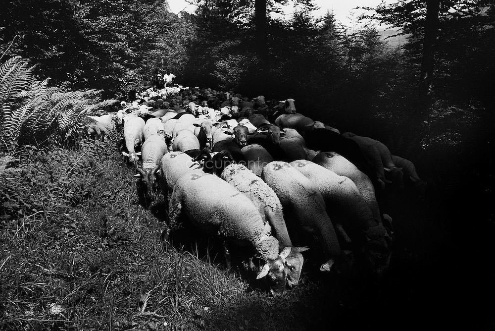 A flock of sheep with the shepperds during the summer transhumances in the valley of Bethmale in the Pyrenees, France.
