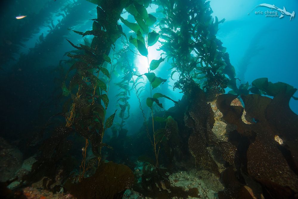 Kelp forest silhouette, Reflector Cove, Catalina, Channel Islands
