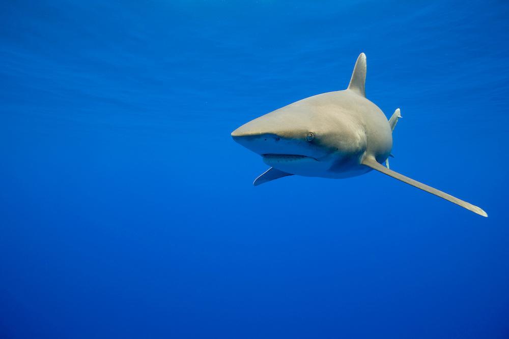 USA, Hawaii, Big Island, Underwater view of Oceanic White Tip Shark (Carcharhinus longimanus) swimming in Pacific Ocean