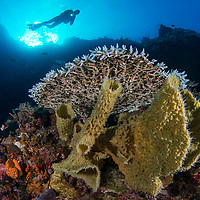 Diver swimming over coral reef, Maumere, Flores, Indonesia.