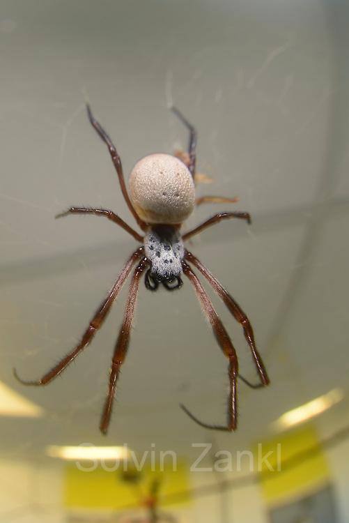 Eine weibliche Goldene Radnetzspinne (Nephila clavipes) im Spinnenraum des Forschungstraktes der Medizinischen Hochschule Hannover (MHH).