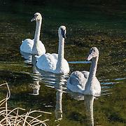 Three white swans reflect in Manistee River, Mesick, Michigan, USA.