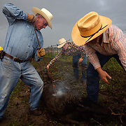 Alan Katko brands a young calf during the bi-annual roundup at the Bar B ranch near Albia, Iowa.  Assisting Katko is nineteen-year old Patrick Stark, center, and Mike Moyle, right.  Calves were roped and seperated from the herd for vaccinations, branding and the placement of growth stimulant implants.  The male calves  were also castrated.  Owner Catherine Bay runs the operation with a herd of over 2,000 cattle.