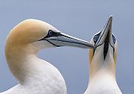 Gannets allo-preening