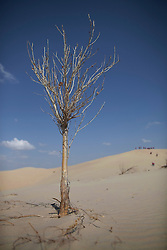 A lone poplar tree is seen in the Taminchagan desert of Kunlun Qi in the Inner Mongolia Autonomous Region of China on 24 April 2011. Inner Mongolia, China's third largest province, is fighting severe desertification, much like the provinces of Xinjiang, Gansu, Qinghai, Ningxia, Shaanxi, Heilongjiang and Hebei. Over-grazing, logging, expanding farms and population pressure, along with droughts have steadily turned once fertile grasslands into sandy plains. China has adopted measures to stop the land degradation such as reforestation, resettling nomadic Mongolians from grasslands to urban areas and restricting grazing areas. The forced removal of nomadic tribes from their traditional pastures to reduce over-grazing however remains controversial as opponents of the government's plan say herders who have grazed the grasslands for centuries are key to solving the problem while restricting them to one place would instead result in even more serious denudation of the areas they were resettled in. Tree planting has become a key government effort to combat desertification and supporting the government's reforestation endeavors are numerous non-governmental organizations (NGOs), such as Shanghai Roots & Shoots. The NGO launched the Million Tree Project in 2007 in Kulun Qi with aims to plant its first million trees by 2014 to hinder the expanding desert. To-date, they have planted more than 600,000 trees.