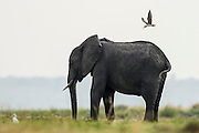 An African Skimmer mobs an African elephant that has wandered too close to the skimmers nest, Chobe River, Kasane, Botswana.