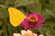 Large Orange Sulphur (Phoebis agarithe) - male<br /> TEXAS: Victoria Co.<br /> Victoria<br /> 15.Nov.2009<br /> J.C. Abbott