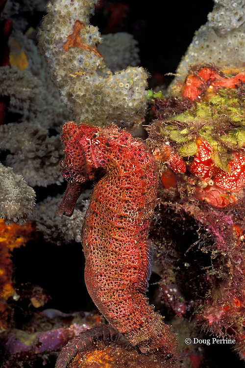 longsnout seahorse or slender sea horse, Hippocampus reidi, Orca Reef, St. Vincent or Saint Vincent, West Indies ( Caribbean Sea )