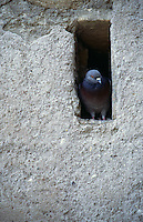 Pigeon perched in tiny hole in stone wall