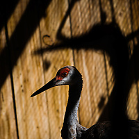 SARASOTA, FL -- October 2012 -- Injured sandhill cranes, many of whom are hit by golf balls, recover at the hospital at Save Our Seabirds (S.O.S.) on City Island in Sarasota, Florida.  (PHOTO / CHIP LITHERLAND)